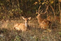 Deer, RNP.